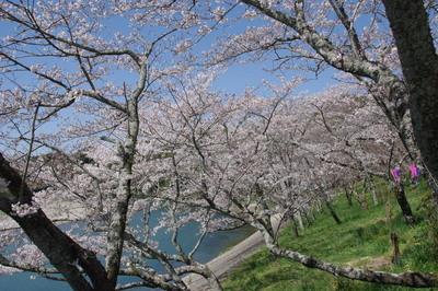 Sakura06_2