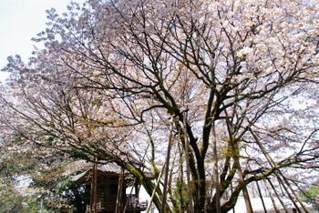 Himesakura051