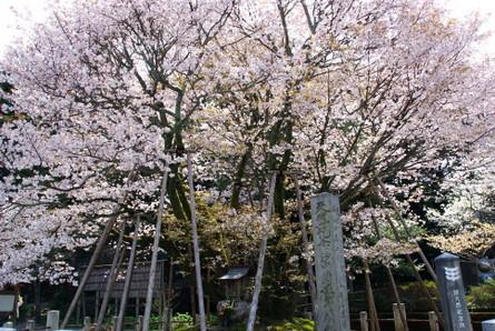Himesakura02