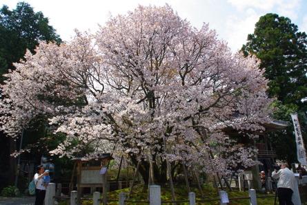 Himesakura10