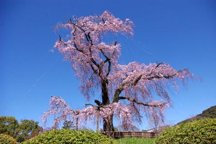 Sakura06
