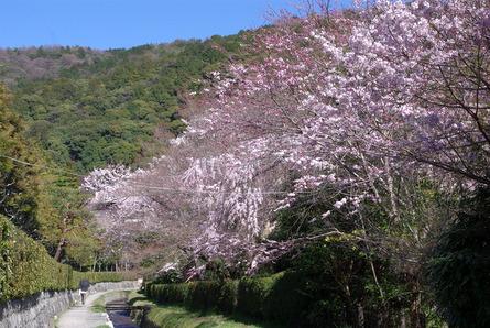 Sakura19