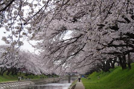 Sakura010