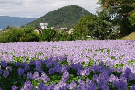 Motoyakushi11