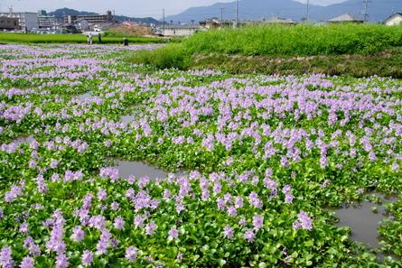 Motoyakushi01