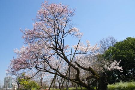Sakura09_2