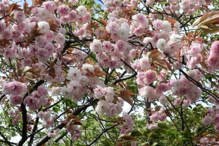 Satozakura08