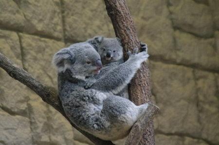 Koala04