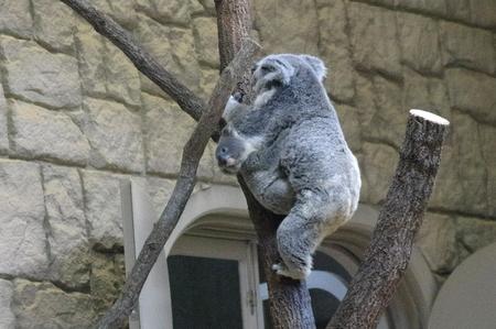 Koala05