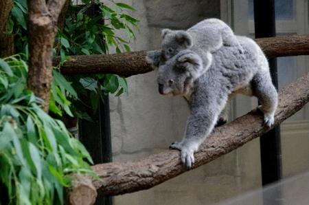 Koala08