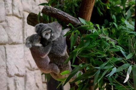 Koala10