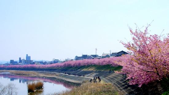 Aoisakura01